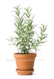 Indoor Fragrant Plants - fragrant house plants
