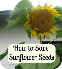 22 best sunflower seed recipes images on pinterest sunflower