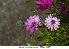 africanized honey bee stock images royalty free images u0026 vectors