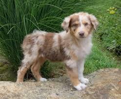 australian shepherd puppies for sale liczba pomysłów na temat australian shepherd for sale na