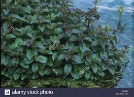 water mint mentha aquatica mass of leaves on plant at edge of pond