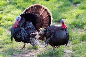 Kentucky wildlife images Kentucky afield outdoors spring wild turkey season preview wmky jpg
