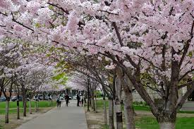Cherry Blossom Map 5 Places To Find Cherry Blossoms In Toronto Beyond High Park