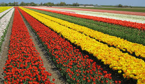 the best places to see tulip fields in holland my footprints