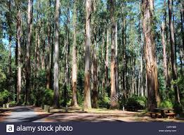 Eucalyptus Trees The Eucalyptus Trees Of Sherbrooke Forest Dandenongs Victoria