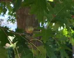 nine reasons to plant an oak edge of the woods native plant nursery