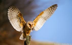 North American Barn Owl Interesting Facts About Barn Owls Just Fun Facts