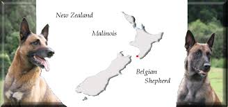 belgian shepherd youtube nz malinois nz belgian shepherd eiramwood kennels waikanae new