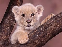 imagenes de leones salvajes gratis animales cachorros de leones leones blancos animales del bebé fondos