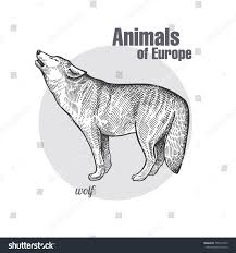 wolf hand drawing animals europe series stock vector 750773443