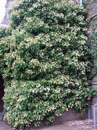plantfiles pictures japanese climbing hydrangea schizophragma
