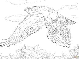 red tailed hawk coloring coloring