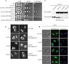 the cryptococcus neoformans alkaline response pathway