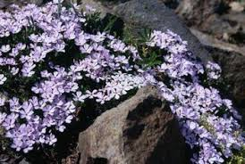 how to use creeping phlox in garden design home guides sf gate