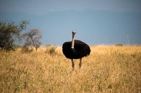 ostrich struthio camelus photos jungledragon