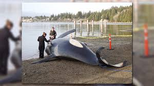 Wildfire Pod Tab by Endangered Orca Found Dead Off Canadian Coast King5 Com