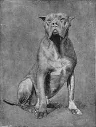 american pitbull terrier natural ears ear cropping natural history