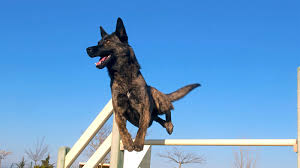 belgian shepherd exercise requirements 5 things to know about dutch shepherds petful