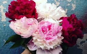 Peony Flowers by The Peony Makes A Comeback As Best Selling Summer Flower Following