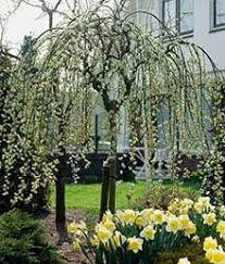 weeping kilmarnock willow trees for sale view now