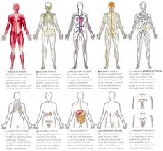 Male Internal Organs Anatomy 11 Organ Systems Of The Human Body And Their Functions Fosfe Com