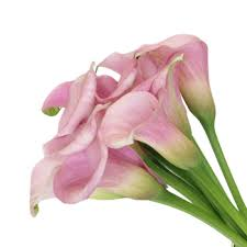 pink calla mini calla lilies