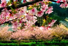 flowers spring sakura garden japan japanese macro blossom flower