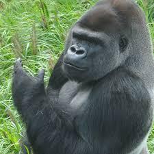 meet the gorillas louisville zoo