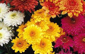 Chrysanthemum Knowing Yellow Chrysanthemum Meaning In Japan And Chinese