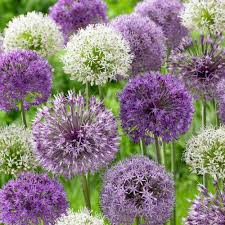 allium flowers zyverden allium blend set of 12 21403 the home depot
