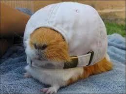 Guinea Pig Meme - create meme wsav wsav guinea pig hamster pictures meme