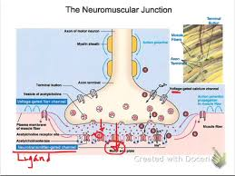Physiology Videos Events At The Neuromuscular Junction A U0026p Videos Pinterest