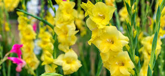 gladiolus flowers top 15 most beautiful gladiolus flowers