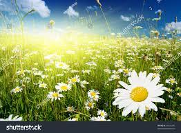 field daisies perfect sky stock photo 20539280 shutterstock