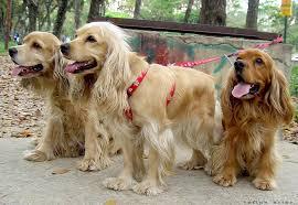 american eskimo dog giving birth american eskimo dog or american eskimo dog dogs rescue world
