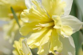 Ideas For Daffodil Varieties Design 15 Gorgeous Daffodil Varieties