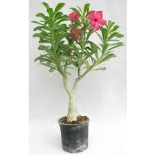 indoor plants india flowering plants online all flowering plants online in india