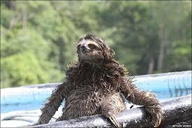 wet sloths sloths and gremlins dont get them wet album on imgur