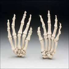life size skeleton hands 4th class an ch10hands 21 45
