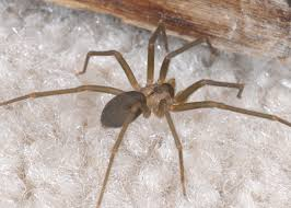 avoid close encounters with venomous spiders mississippi state