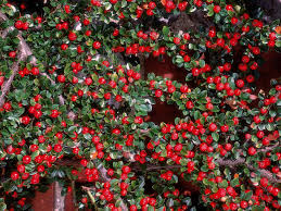 winter lawn care hgtv winterberry holly