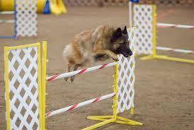 belgian sheepdog trials file belgian tervuren agility jump jpg wikimedia commons