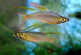 breeding threadfin rainbowfish