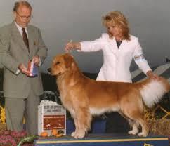 Comfort Retriever Puppies For Sale Shadalane Golden Retrievers