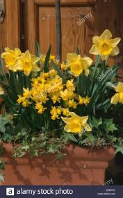 Rectangular Terracotta Planters by Close Up Of Narcissus February Gold