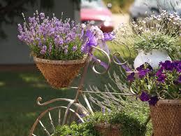 growing lavender bonnie plants