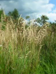 native prairie plants calamagrostis canadensis blue joint grass u2013 natural communities