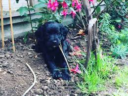 affenpinscher for sale canada dogs and puppies for sale in windsor pets4homes