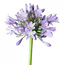 Discount Flowers Bulk Discount Flowers Blue Agapanthus