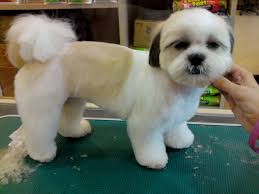 pictures of shih tzu haircuts shih tzu dogs haircuts dog pet photos gallery jx3mgqdklr